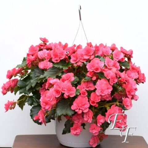 GH 102 Begonia Basket