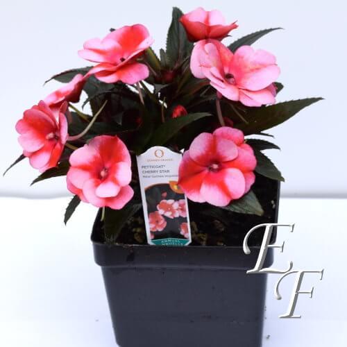 4 5 New Guinea Impatiens Two Tone Pink Gh 124 2tp Essex Florist