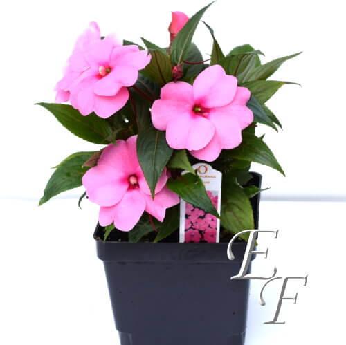 4 5 New Guinea Impatiens Pink Gh 124 P Essex Florist
