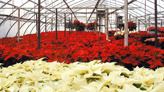 Essex Florist Greenhouse filled with poinsettias.