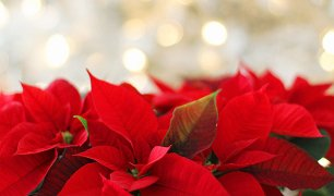 poinsettia-red-with-white-background