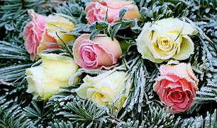 Roses in an arrangement with pine boughs and frost