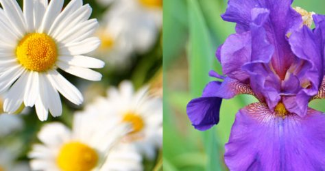 Meanings of daisy and iris flowers