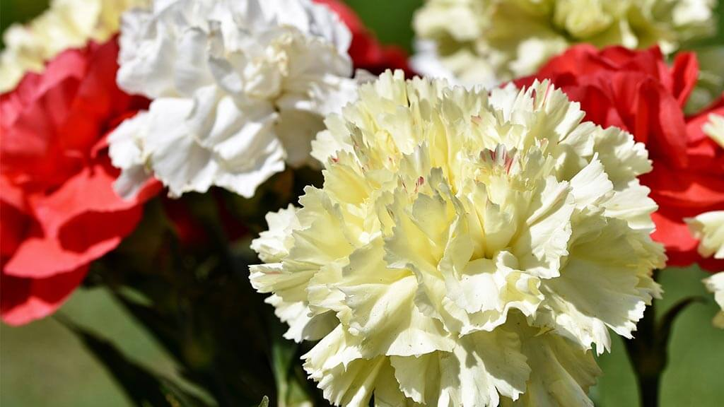 Carnations can be an alternative to roses on valentines day