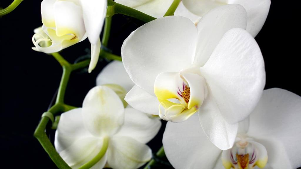 White orchids can be an alternative to Valentine roses
