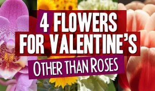 valentine-other-then-roses
