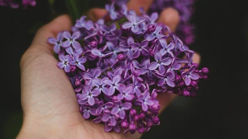 Lilac bloom being held in an outstretched hand