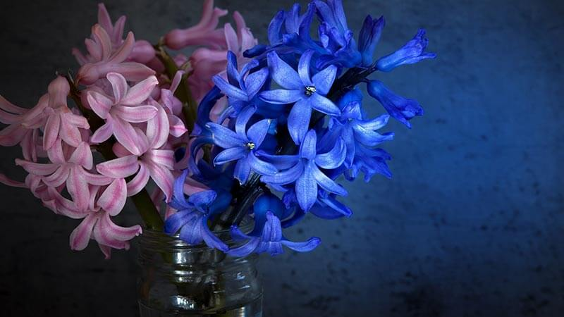 Blooming hyacinth in a mason jar