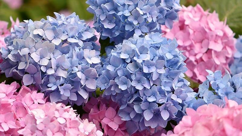 Group of Hydrangeas flowers
