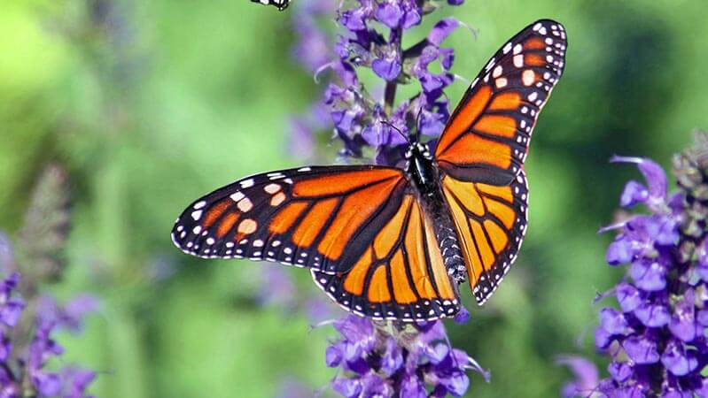 monarch butterfly pollinating on flowers