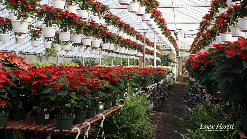 Essex Florist Greenhouse with holiday flowers